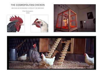The Cosmopolitan Chicken (Mechelse Koekoek x Poulet De Bresse)