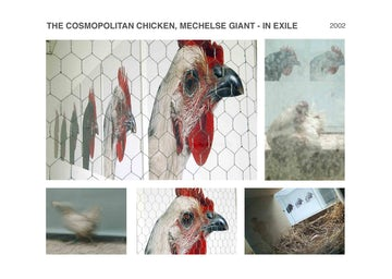 The Cosmopolitan Chicken, Mechelse Giant - in exile